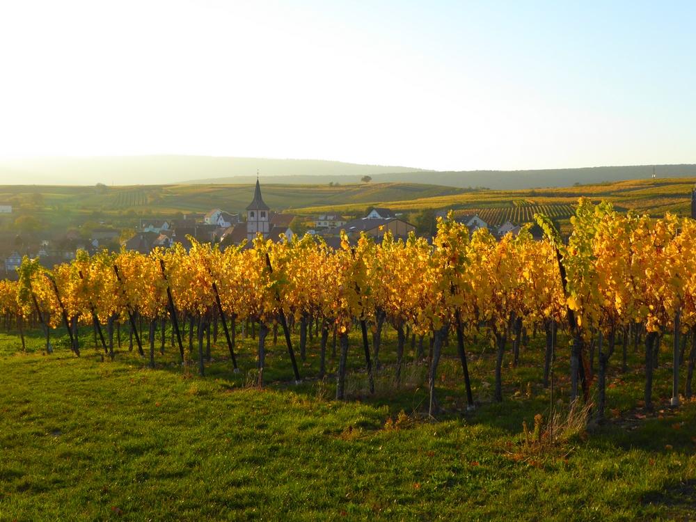 La capitale du vin du Bas-Rhin fête les vendanges !